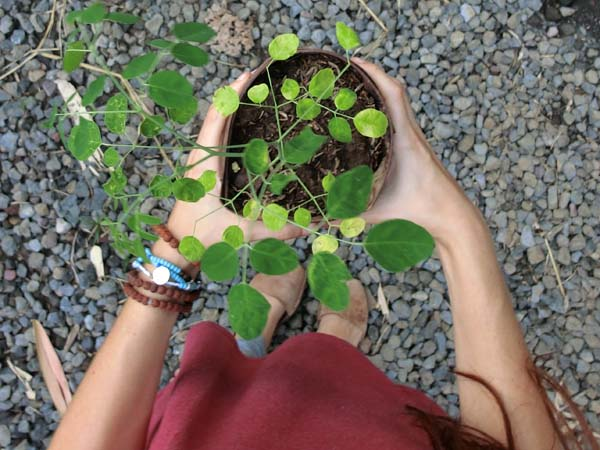 Moringa seedling blog