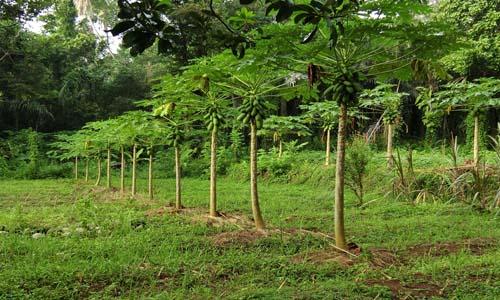 Papaya soil fertility Image