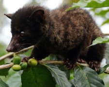 cute-civet-climbing-coffee-plant