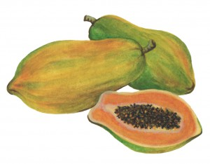papaya sketch