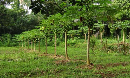 Papaya soil fertility Image